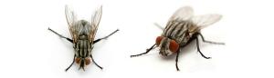 cluster flies 300x86 - cluster-flies