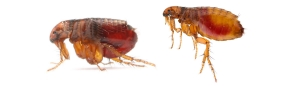 fleas 300x86 - fleas