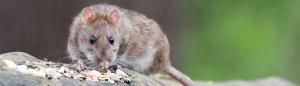 rat and mice control 300x86 - rat-and-mice-control