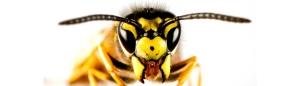 wasp 300x86 - wasp