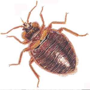 bed bug control 300x300 - bed-bug-control