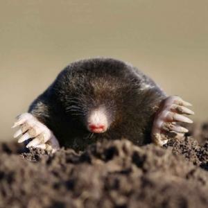 mole control 300x300 - mole-control